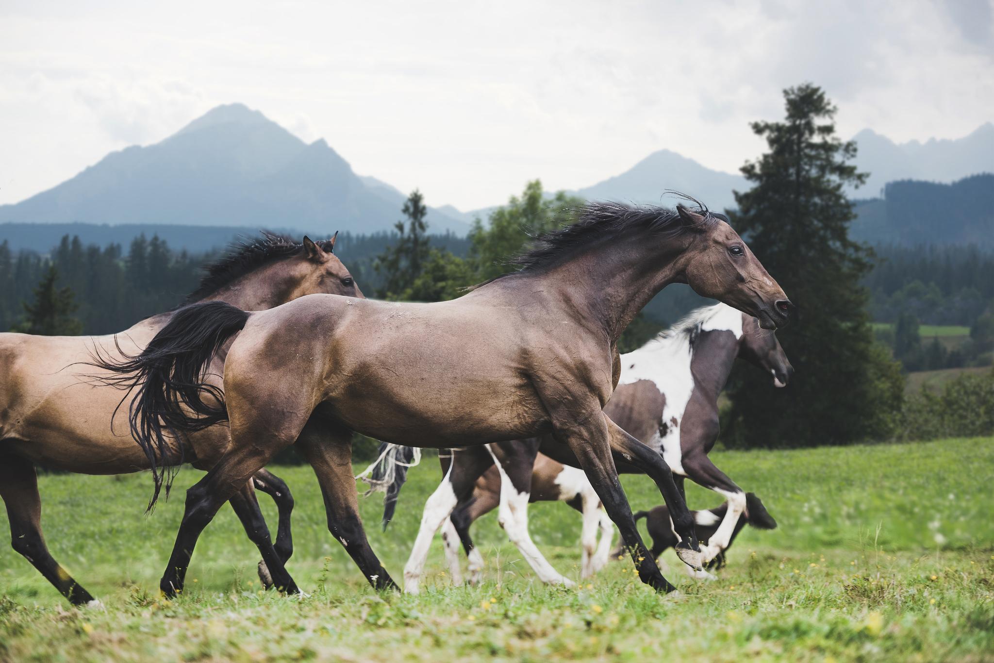 herd horses gallop green grass Tatra mountains Poland